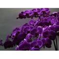 Orchidee Paars zijde +€ 5,00